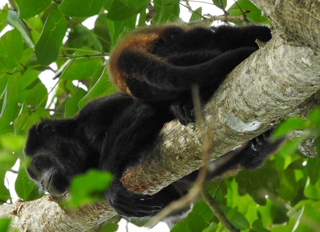 Howler Monkey on Ometepe Island
