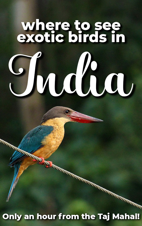 You can see exotic birds in India at the Bharatpur Bird Sanctuary in Keoladeo National Park. Only one hour from the Taj Mahal, this national park is home to more than 300 species of birds, as well as mammals and reptiles! Escape the chaos of India's cities in this peaceful nature reserve.