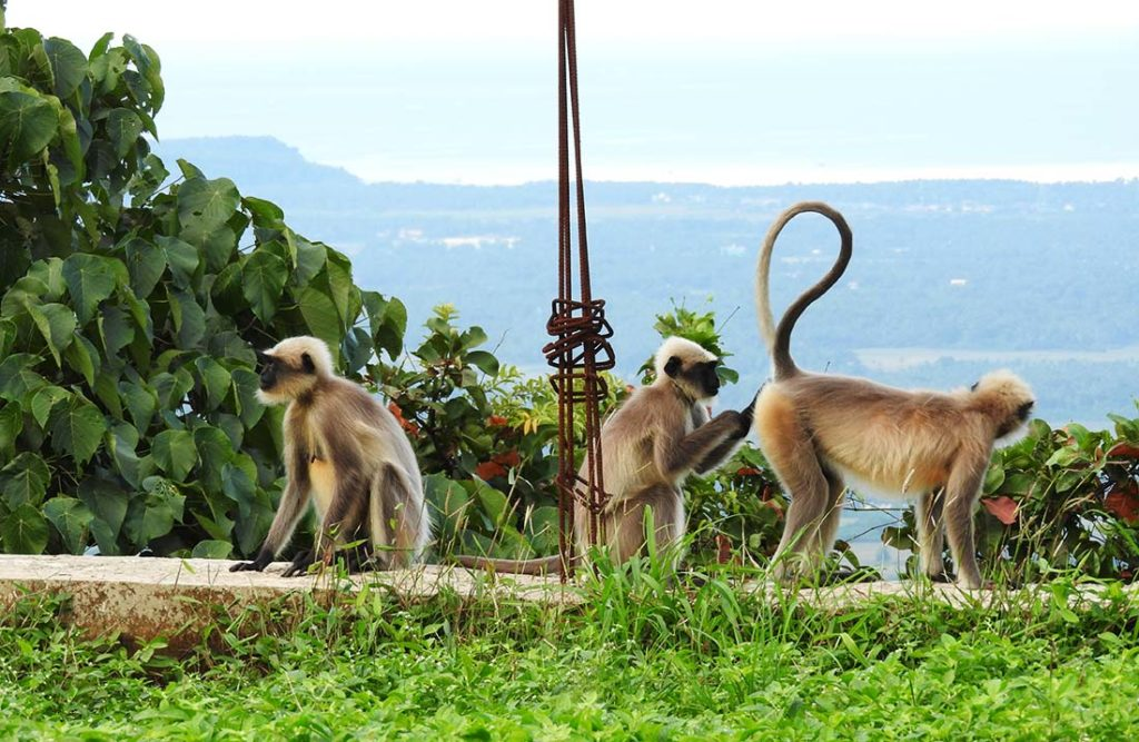 Monkeys at a Goa Yoga Retreat in India