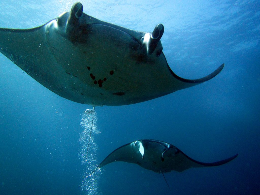 Scuba Diving with Manta Rays Near Nusa Penida, Bali, Indonesia