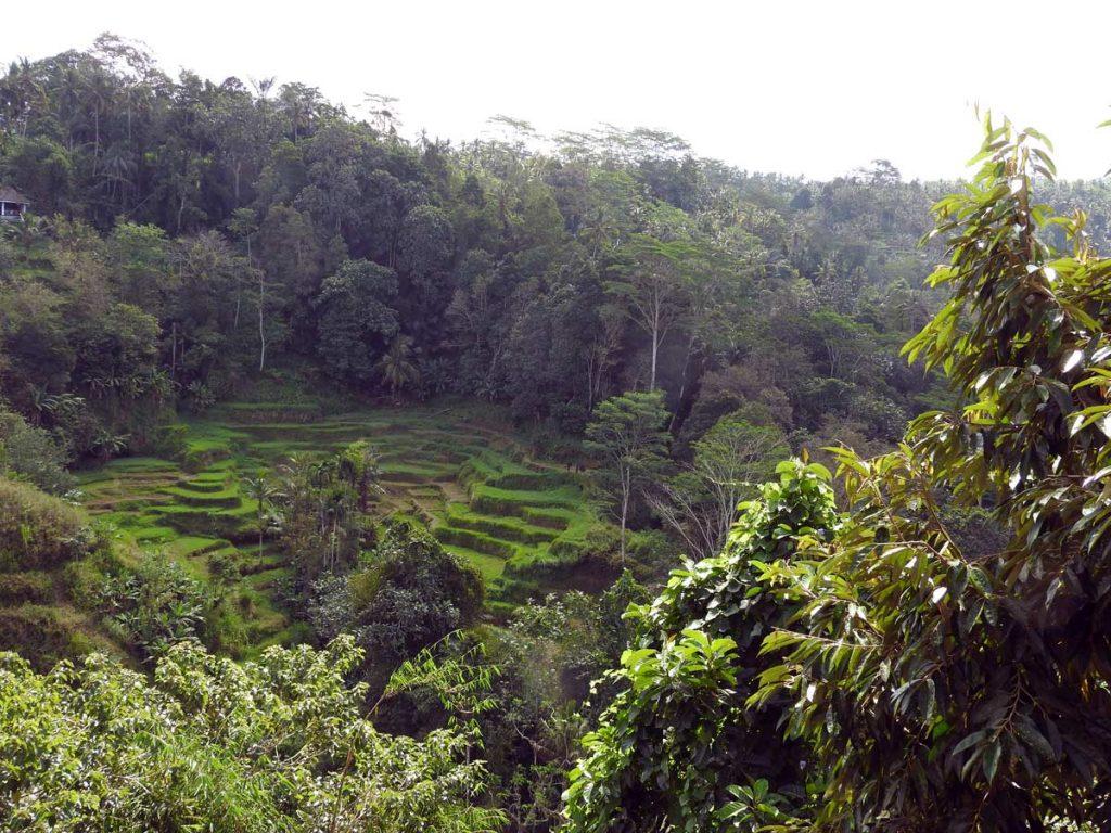 Rice Terraces Outside Ubud, Bali