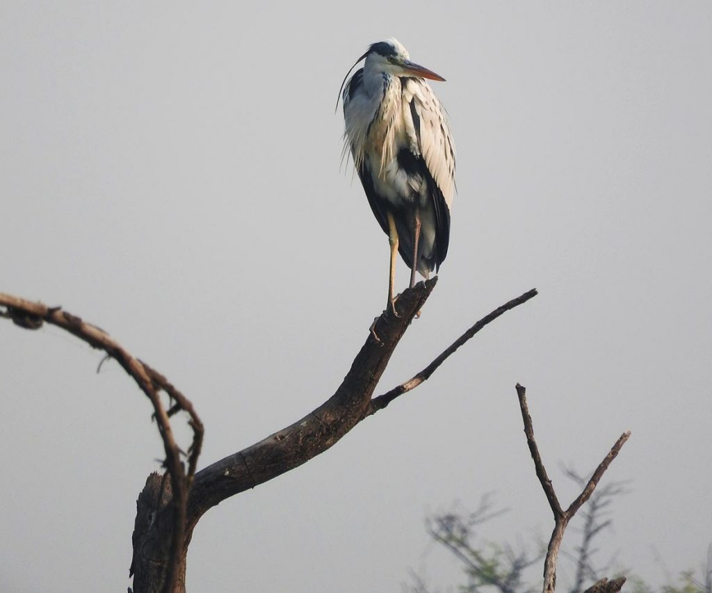Heron in Keoladeo National Park