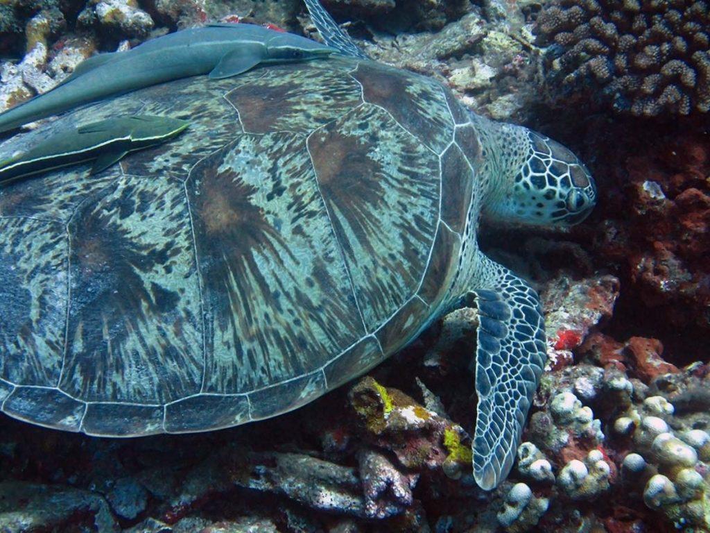 Sea Turtle on a Scuba Dive on Gili Air, near Bali and Lombok, Indonesia