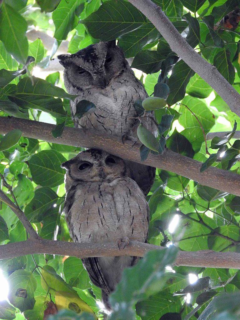 Owls in the Bharatpur Bird Sanctuary