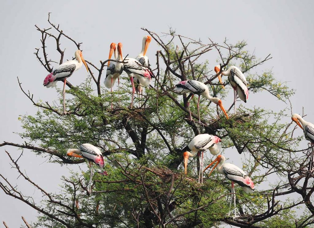 Storks in the Keoladeo National Park and Bharatpur Bird Sanctuary