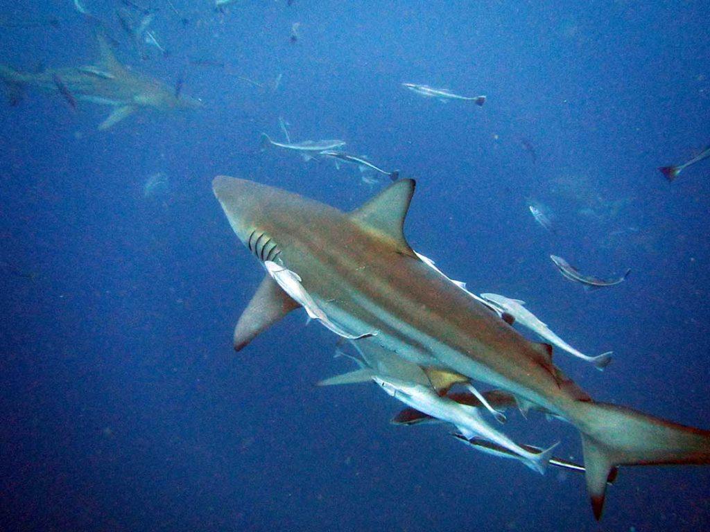 Aliwal Shoal Baited Shark Dive